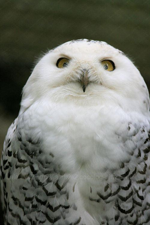 Owl20090420
