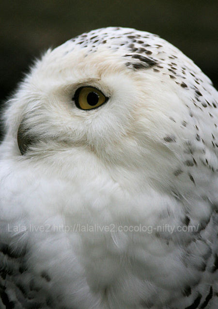 Owl200904202_2