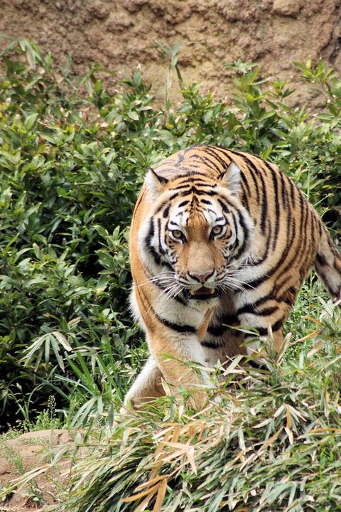 Tiger20090420