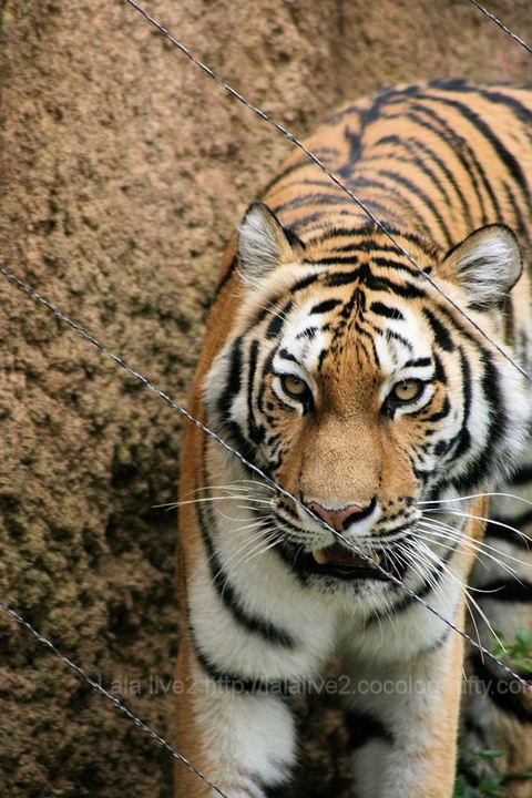 Tiger200904201