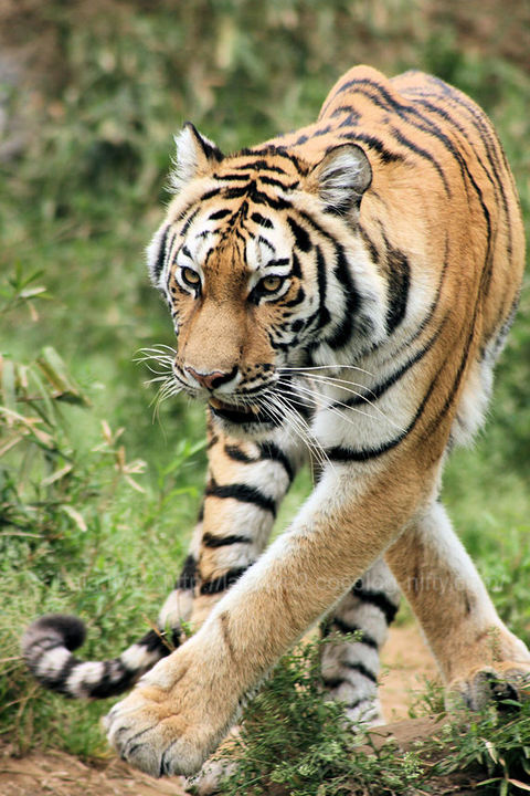 Tiger200904202