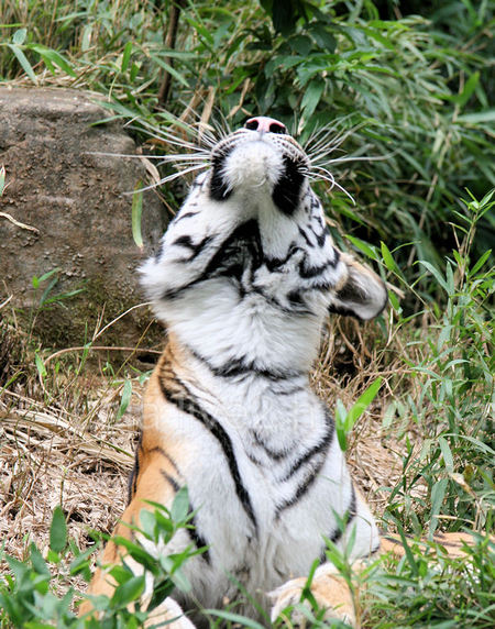 Tiger200909043