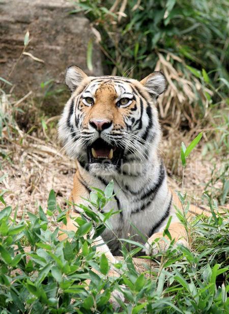 Tiger200909044_2