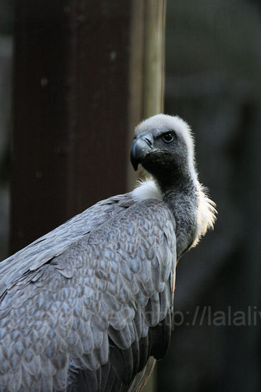 African_white_backed_vulture1_2