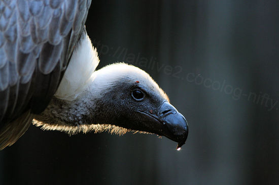 African_white_backed_vulture2
