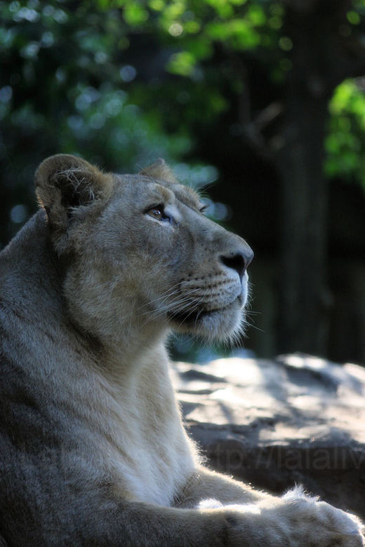 Lioness20091021