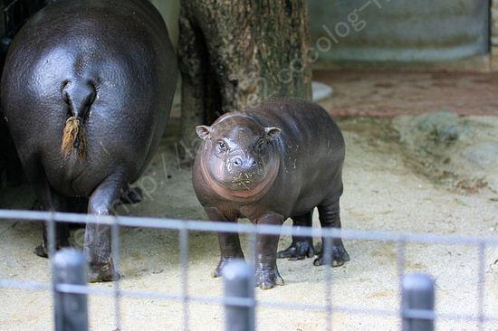 Pygmyhippopotamus200910211