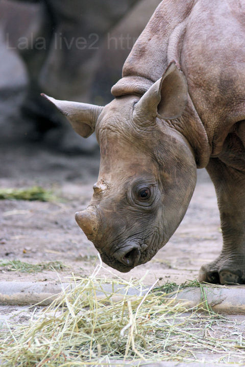 Rhinoceros20091021