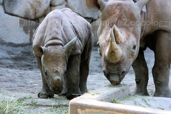 Rhinoceros200910211