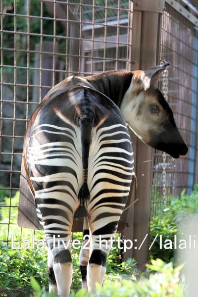 Okapi200910211