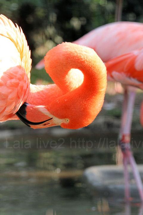 Flamingo200910211