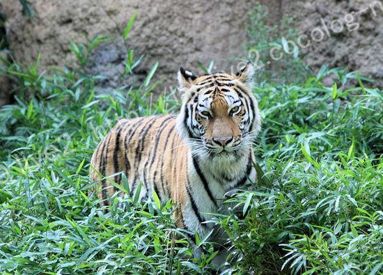 Tiger20090803
