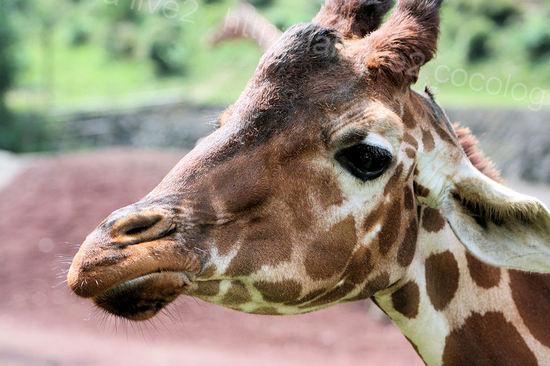 Giraffe20090803