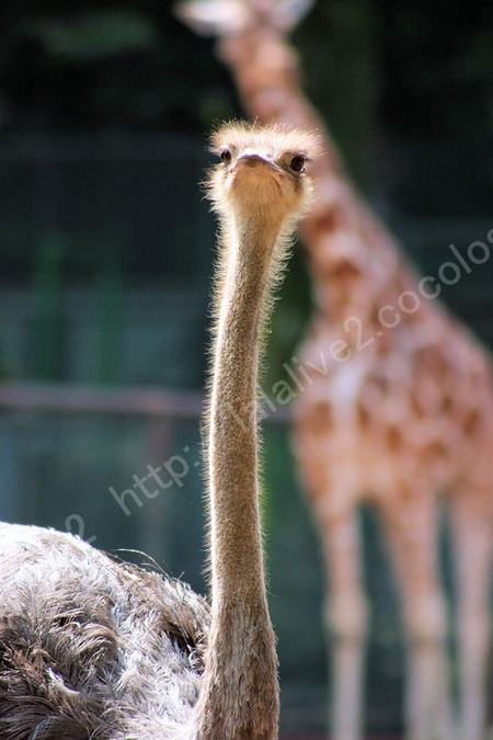 Ostrich20090803