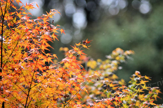 Autumnleaves20091124