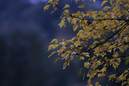 Autumnleaves200911241