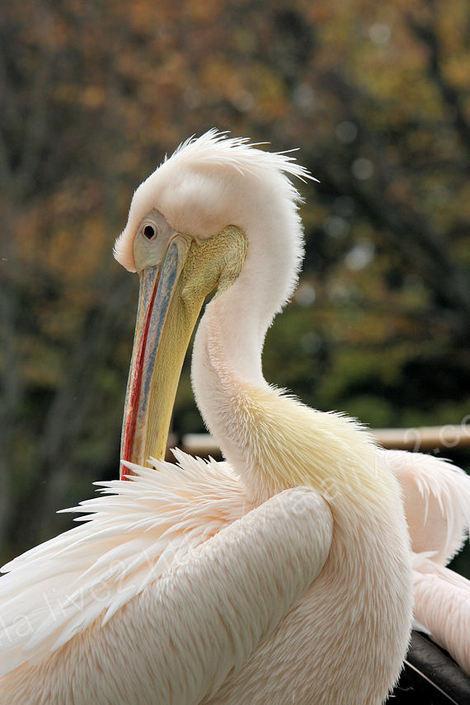 Pelican20091124