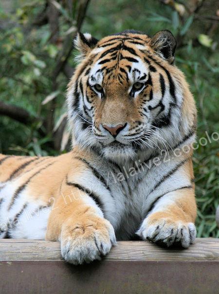 Tiger200911242