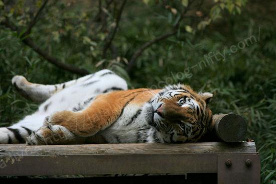 Tiger20091124_2