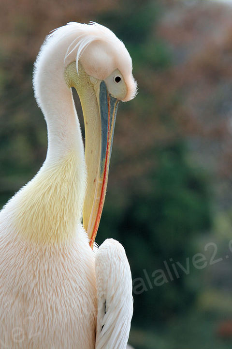 Pelican200911242