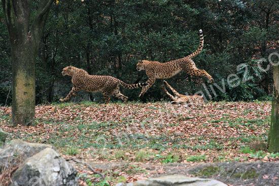 Cheetah200911245