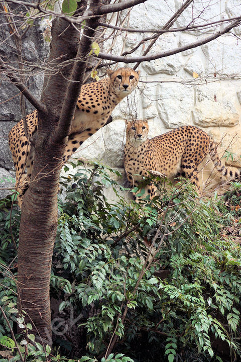 Cheetah200911246