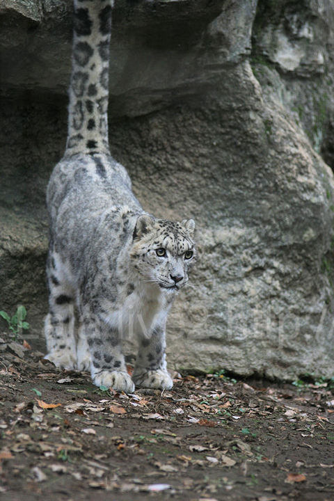 Snowleopard20091124