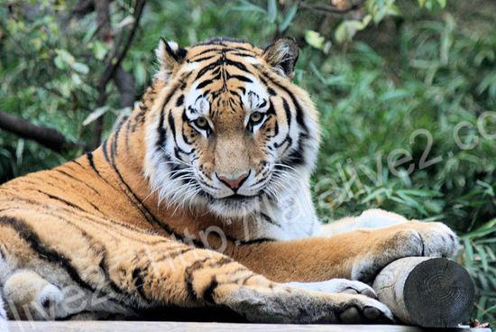 Tiger200911246