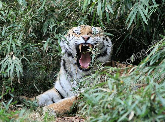 Tiger200911247