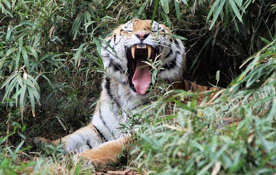 Tiger200911248