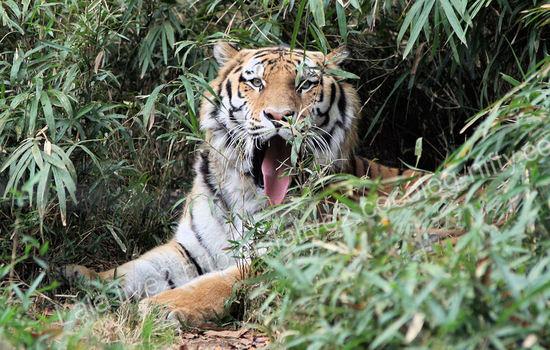 Tiger200911249
