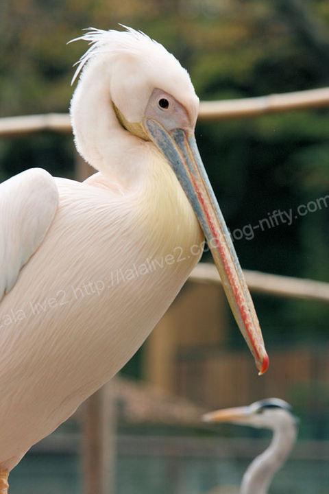 Pelican2009112423jpg