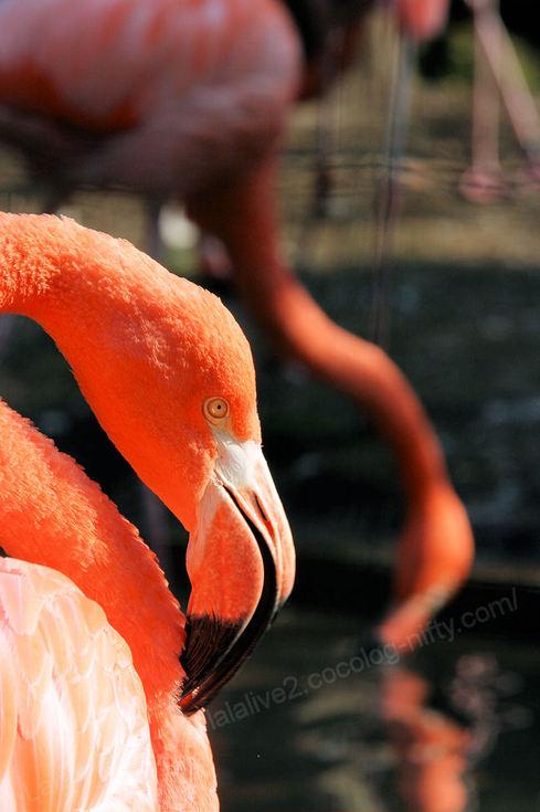 Flamingo200910212