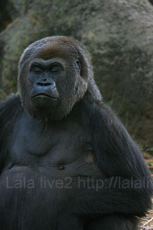 Gorilla200910212