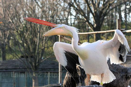 Pelican20091228