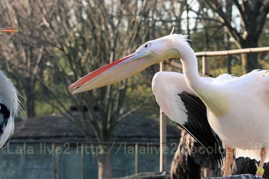 Pelican200912283