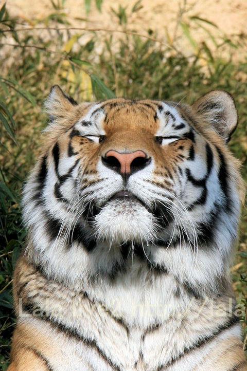 Tiger2009122812