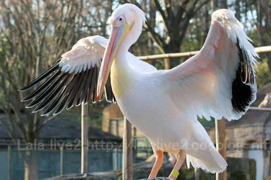 Pelican200912287