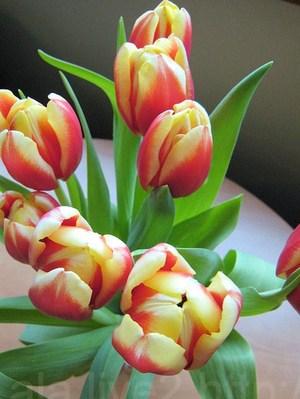 Tulip2010218