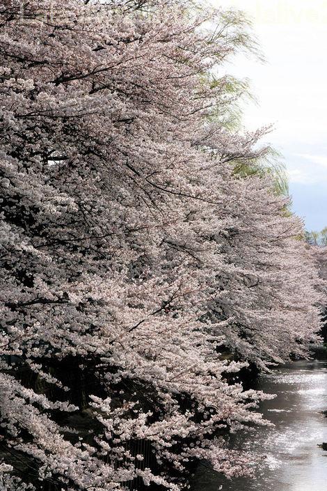 Sakura201004011