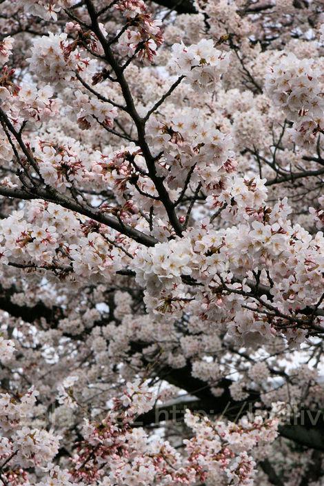 Sakura201004013