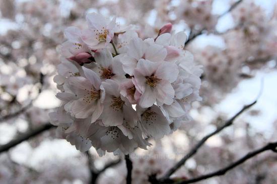 Sakura201004032