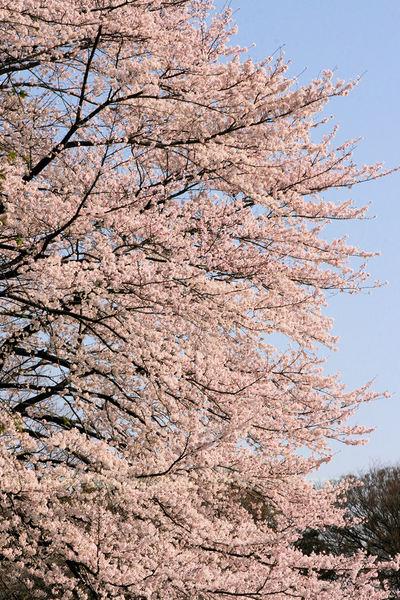 Sakura20100403_2