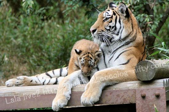 Tiger20101018