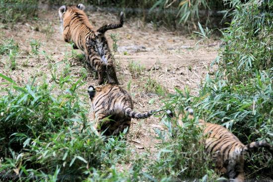 Tiger201010181