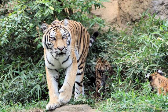 Tiger2010101811