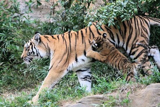 Tiger2010101812