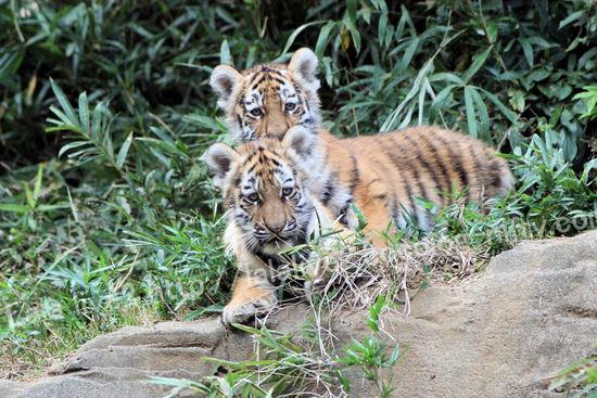 Tiger2010101813