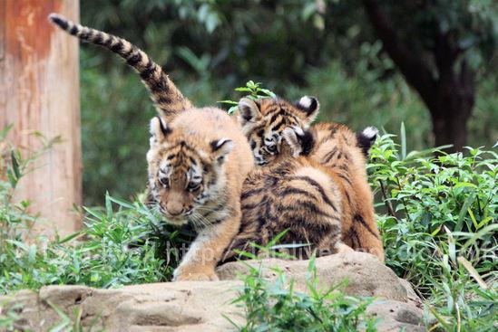 Tiger201010182