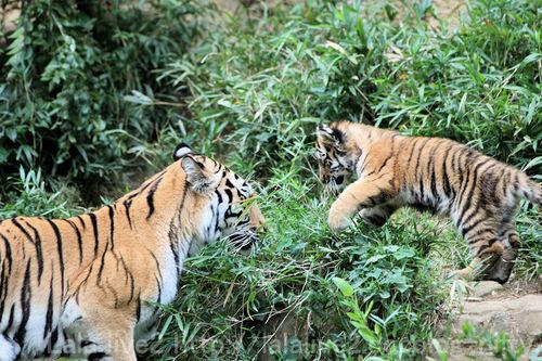 Tiger2010101818_2